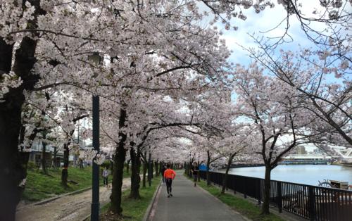 本件とは特に関係ない大阪淀川沿いにて満開に咲くソメイヨシノ群