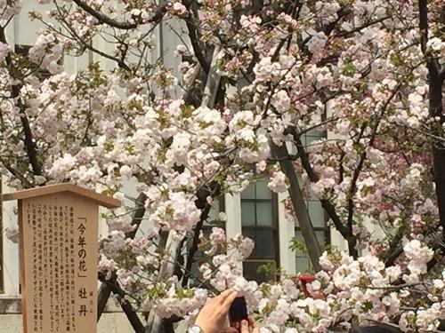 大阪造幣局2016年今年の桜「牡丹」