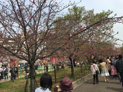2016年4月9日現在大阪造幣局の桜の通り抜けはまだ蕾のままだった桜も多かったです