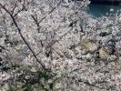 桜の写真を何点かアップしてみるin大阪2018