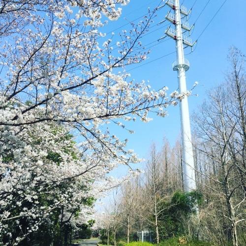 2018年鶴見緑地公園の桜その1
