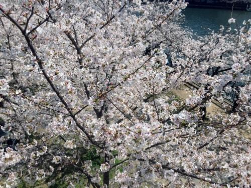 2018年天満橋駅周辺の桜その3